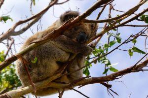 Koala in Otway National Park