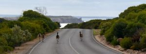 Emus in Innes National Park