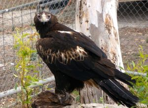 Australian Wedgetail Eagle