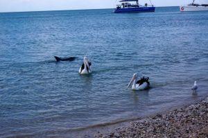 A dolphin swimming along the beach at Monkey Mia