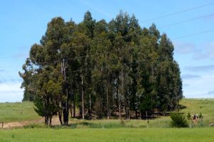 One of the many stands of salmon gum trees on the SW Wheatbelt farms