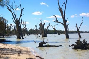 The 'pretending to be dead' old red Gums on the edge of Lake Benanee