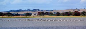 One of the two flocks of pelicans eating their way around Lake Colac